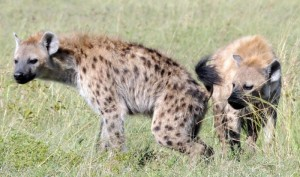 Microbes Help In Hyenas Communication