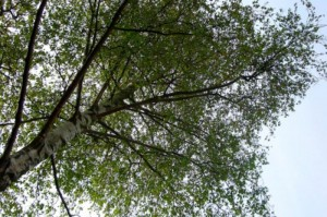 Silver Birch Trees Found Trapping Environmental Particulate Matter