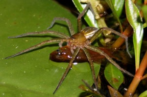Fish Eating Spiders Discovered: Arachnid's New Diet Supplement
