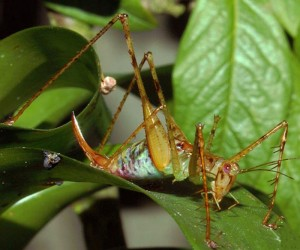 Highest Frequency Ultrasonic Calls Recorded from an Arthropod: Jungle's Crooning Band