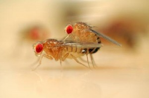 Neuroendocrine System influences Sexual Behavior: Disclosed Fruit Flies