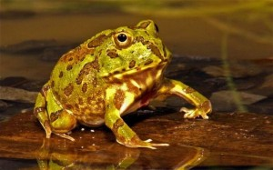 Frog could assist Astronomers in Space Mission: Maintaining Muscles under Zero Gravity