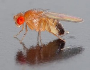 Fruit Fly can sniff out Drugs and Bombs: Electronic Noses Technology
