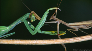Femme Fatale Mantis deceives Males for Snacking: Risking Lives for Sex