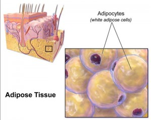 Fats Cells Protect against Bacterial Infections: Body's Defense Mechanism