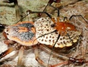 Coin Spiders Self-Emasculate after Mating: Survival of the Genes