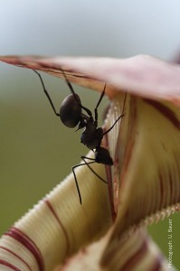 Pitcher Plants switch off their Traps for luring more Prey: Exploiting Insects social instincts