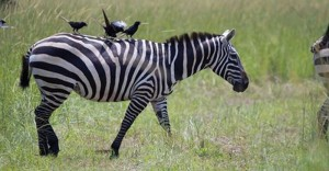 Evolution of Stripes in Zebras: Complex Mix of Purposes