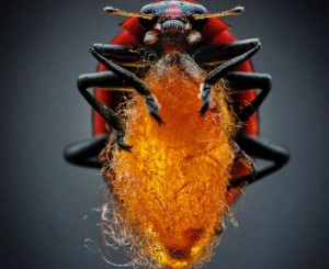 Parasitic Wasp stings Virus to control Ladybug's Mind: Bio-Weapon turns them into Zombie