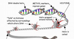 Inheritance of Characteristics are not decided only by DNA: Gene Regulation