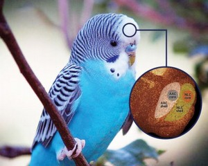 Key Structural Differences in Brain leads to Vocal Imitation in Parrots: The Talking Birds