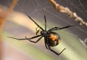 Male Widow Spiders Inseminate Young Females And Avoid Being Cannibalized: Spidery Sex Life